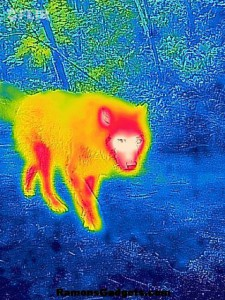 FLIR-ONE-IR-Dog-Outside